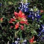 Ville blomster dekker hele enger i det sentrale Texas hver vår